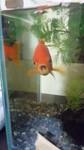 2011 金魚.jpg